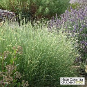 Low maintenance plant Blonde Ambition for Portland landscape design.
