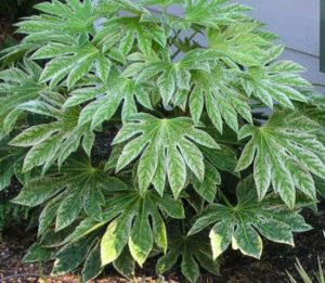 Japanese Aralia dog friendly landscaping plant