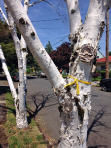 Another birch tree marked for removal by the City of Portland due to bronze birch borer.