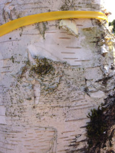 City of Portland has tagged this borer damaged birch tree for removal