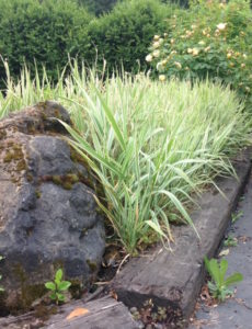 Aggressive Ribbon Grass in NW Portland parking lot is well contained by boulders.