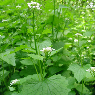 Mature garlic mustard invades natural areas of Portland Oregon