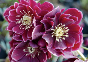 Amethyst Gem a low maintenance NW hellebore.
