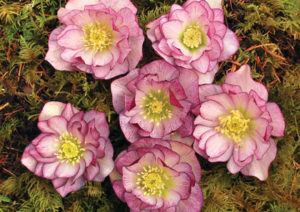 Helleborus x hybridus 'Peppermint Ice', Perfect for Portland Gardens