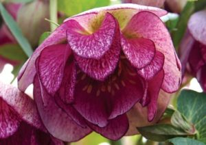 Winter Color provided by Hellebore 'Peppermint Ice'