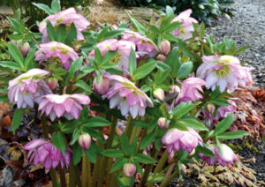Helleborus x Hybridus 'Peppermint Ice' photo by Terra Nova