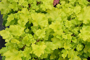 Lime Marmalade Heuchera for Portland landscape design.