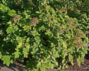 Hydrangea quercifolia 'Sikes Dwarf' at The Morton Arboretum