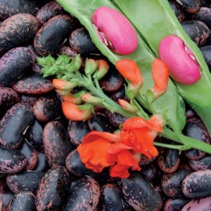 Scarlet Runner Bean. Photo courtesy of Seed Savers.
