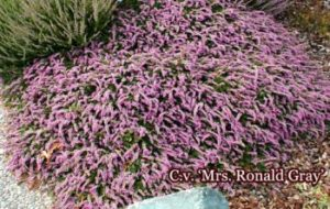 Mrs Ronald Gray heather is low maintenance for your landscape.
