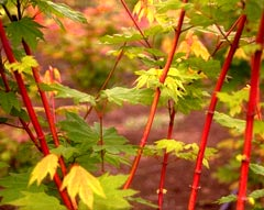"Acer Circinatum ""Pacific Fire"" photo from Handy Nursery"