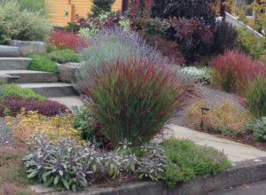 American Switch Grass -Panicum Virgatum in a low water garden Raleigh Hills Portland Oregon