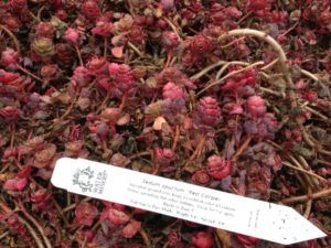 Sedum s Red Carpet in winter