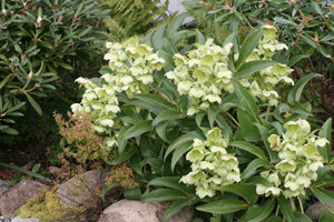 Hellebore argutifolius is perfect for NW Portland Landscape Designs