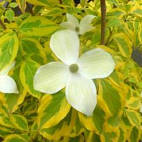 Summer Gold dogwood