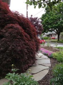 Susan's red maple