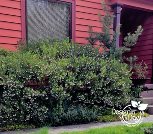 Drought tolerant Manzanita in Portland garden design as foundation plant.