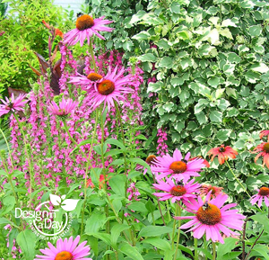 Echinacea P 'Ruby Giant' at Terra Nova test gardens added to Roseway neighborhood design.