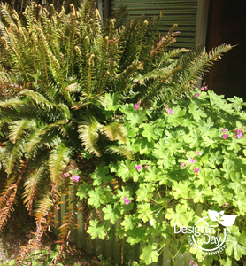 NW Portland Sword Fern and Hardy Geranium in Residential Landscape Design