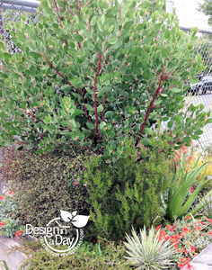 Arctostaphylos in container at Xera Plants S.E. Portland