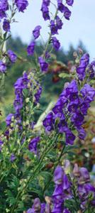 Aconitum 'Tall Blue' Portland Landscape Designer plant