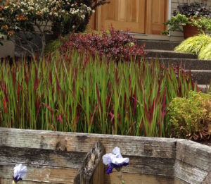 Aggressive Japanese Bloodgrass in Portlands' Raleigh Hills residential landscape design