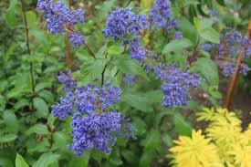 Drought tolerant Ceanothus G. 'Hearts Desire' Picture from Xera