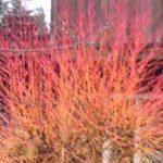 Hot Winter Twigs