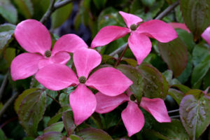 Cornus-Kousa 'Satomi' Intense pink flowers. Photo by Randall C. Smith, courtesy of Great Plant Picks