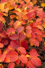Fothergilla 'Mt Airy', (Bottlebrush) in full fall color.