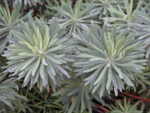 Euphorbia 'Humpty Dumpty' with water drops