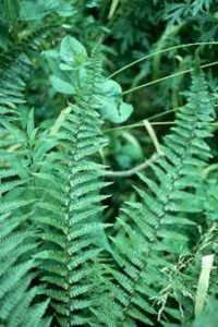 Photo credit Fancy Fronds, Judith Jones Narrow fern fits urban gardens (Scaled Male Fern Dryopteris 'Stableri Crisped')