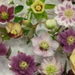 Check out this bowlful of hellebore beauties