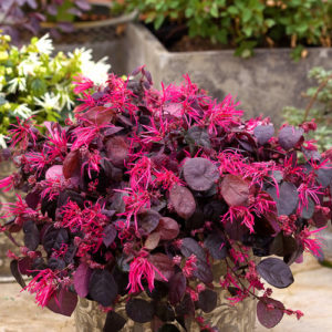 Proven Winners variety called Loropetalum 'Jazz Hands'