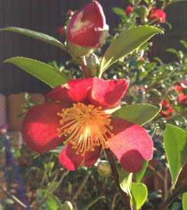 Red Camellia in L. Waldron Garden