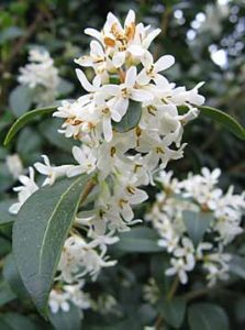 Burkwood's Osmanthus a dog friendly landscape plant