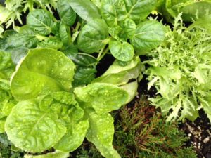 Butter lettuce and bok choy in Carol Lindsay's salad table.