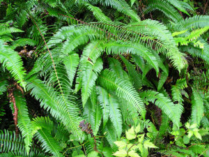 Sword Fern dog friendly landscaping plant.