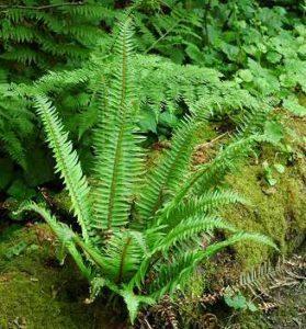 Sword Fern - Polystichum munitum in Portland SW Hills in residential landscape design.