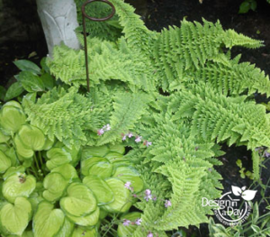 Shade Garden Combination of fern and hosta