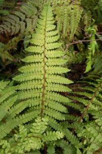 Olive colored foliage makes this fern unique for Portland Landscapes