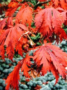 Dziedzic acer-japonicum-aconitifolium Japanese maple chosen for modern landscape design in Portland.