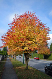 Cercidiphyllum_japonicum, Katsura tree