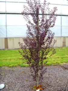 Katsura 'Red Fox' is a smaller tree that is getting used in irrigated parking strips.