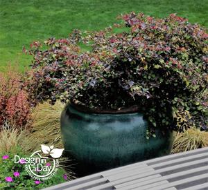 Portland Residential Landscape Designer loves plum foliage