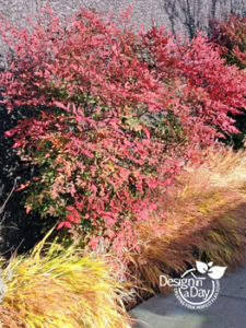 Low Maintenance Shrub (Nandina) for Portland Residential Landscape Design
